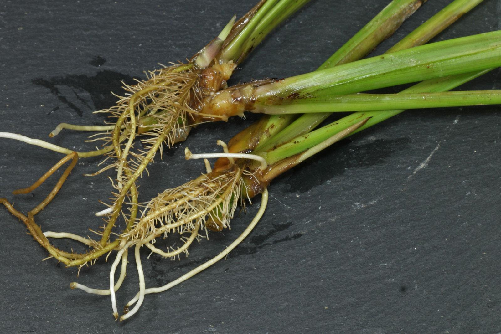 Ctenanthe marantifolia