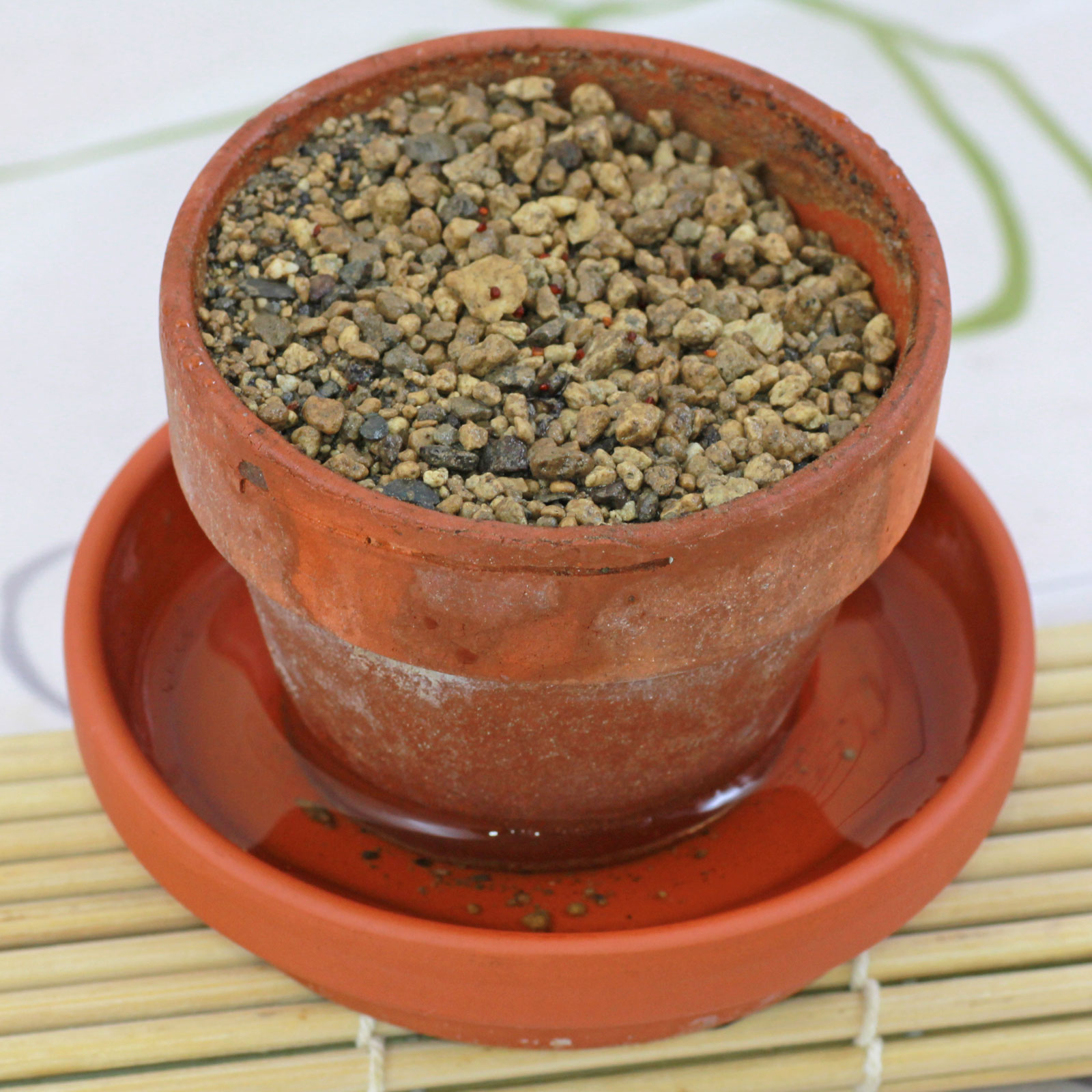 Aloinopsis seeds in pot