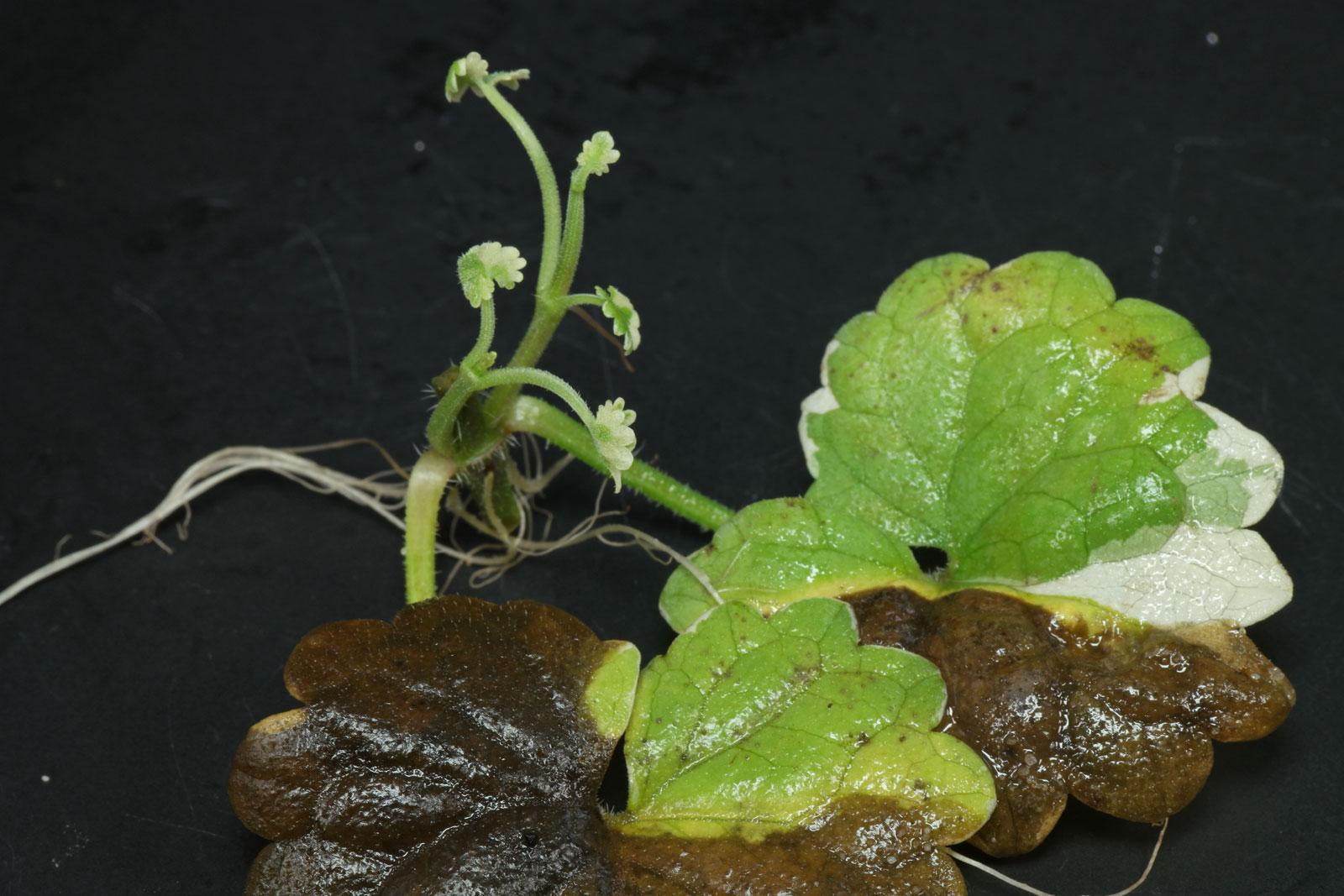 Glechoma hederacea Variegata