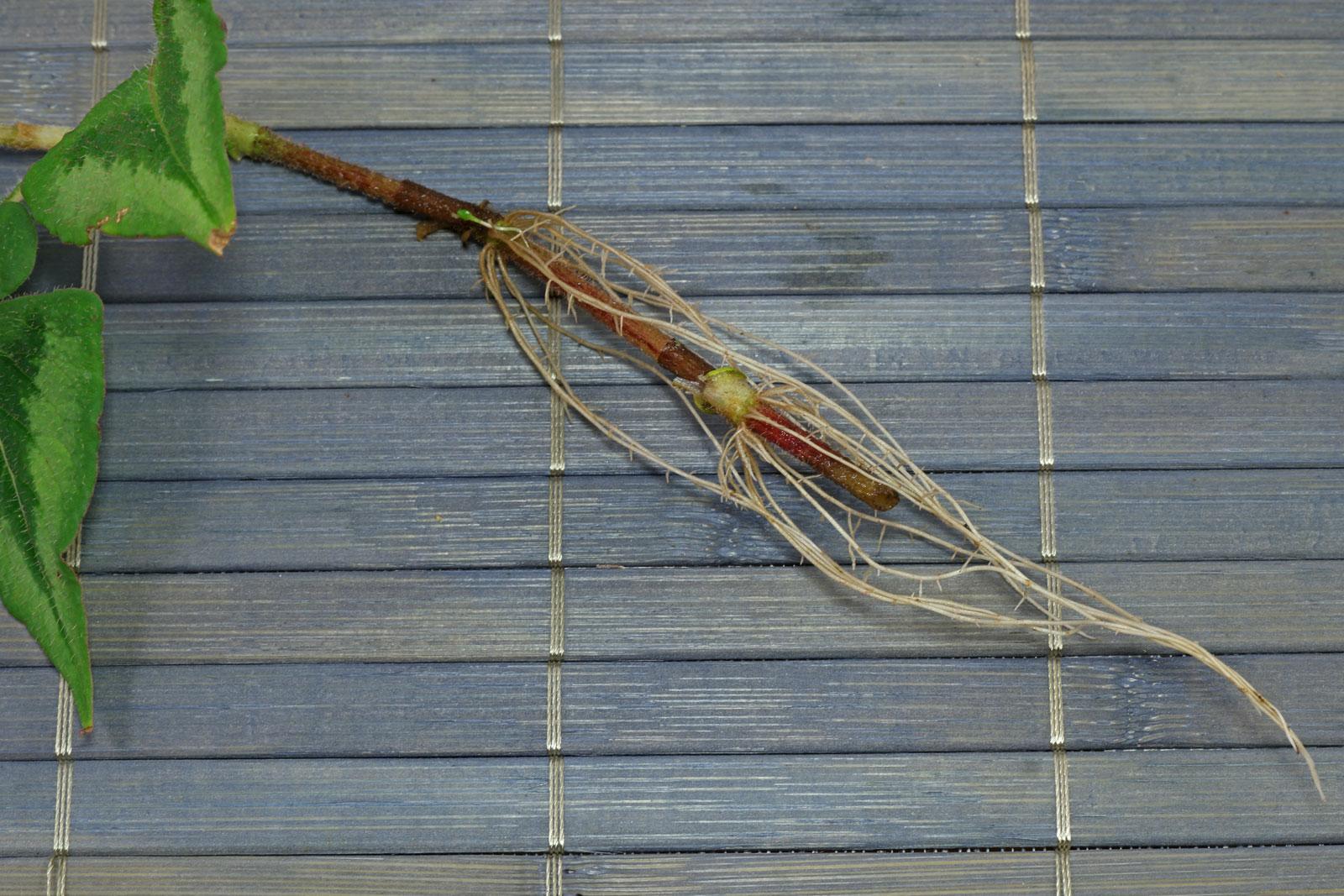 Persicaria microcephala