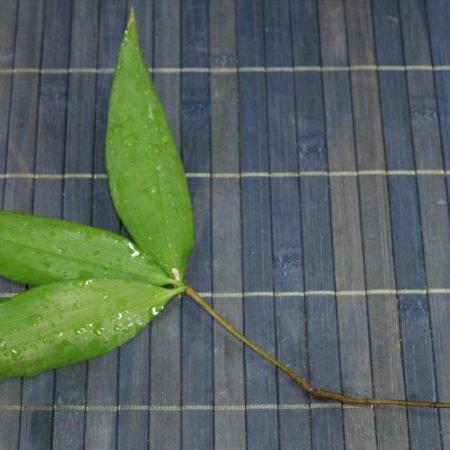 Dracaena surculosa cutting