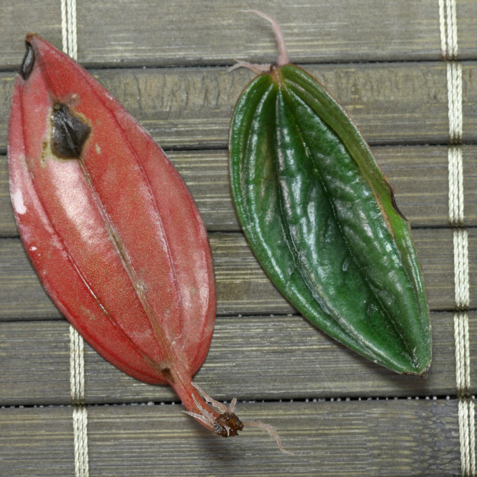 Peperomia caperata