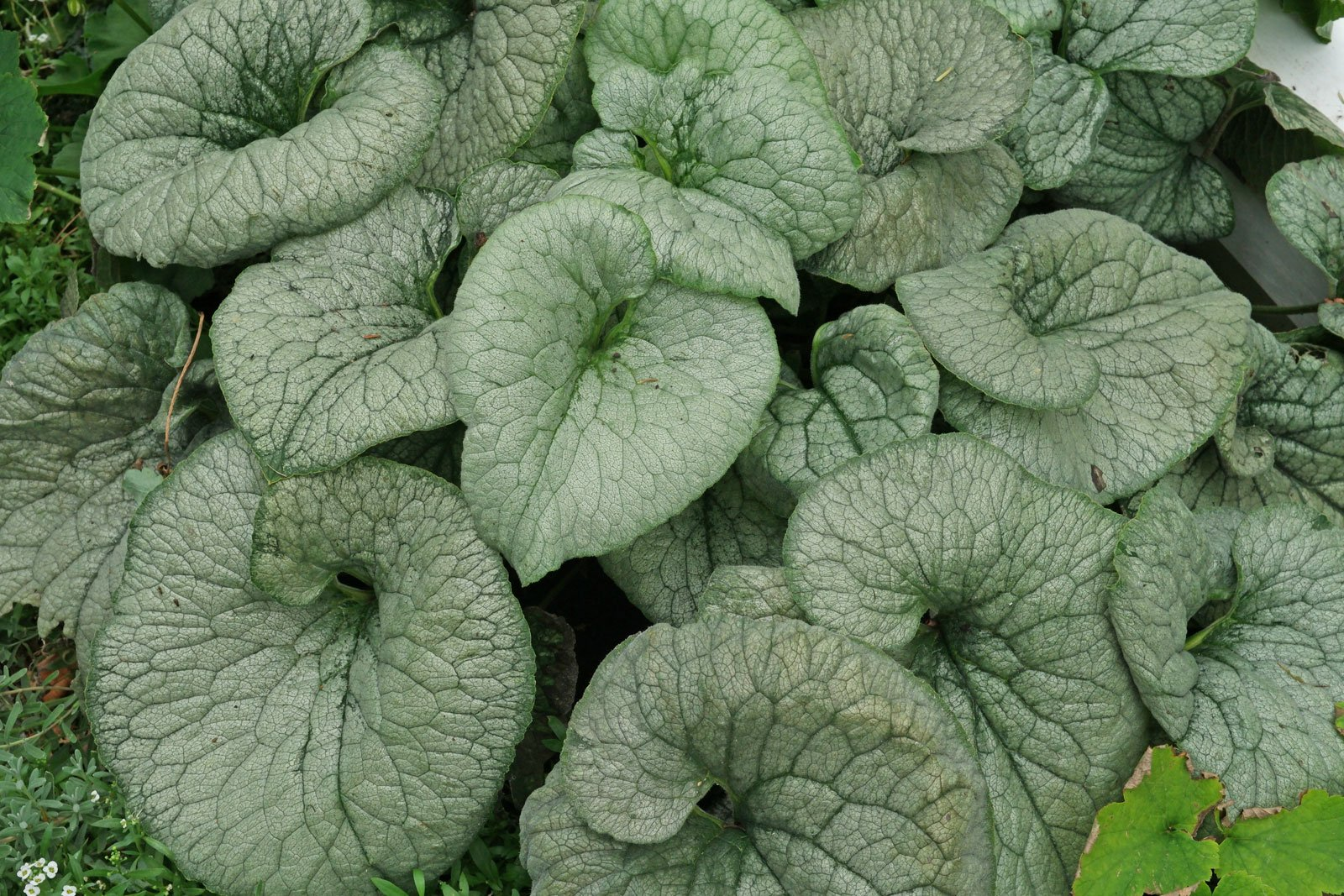 Brunnera macrophylla Looking Glas