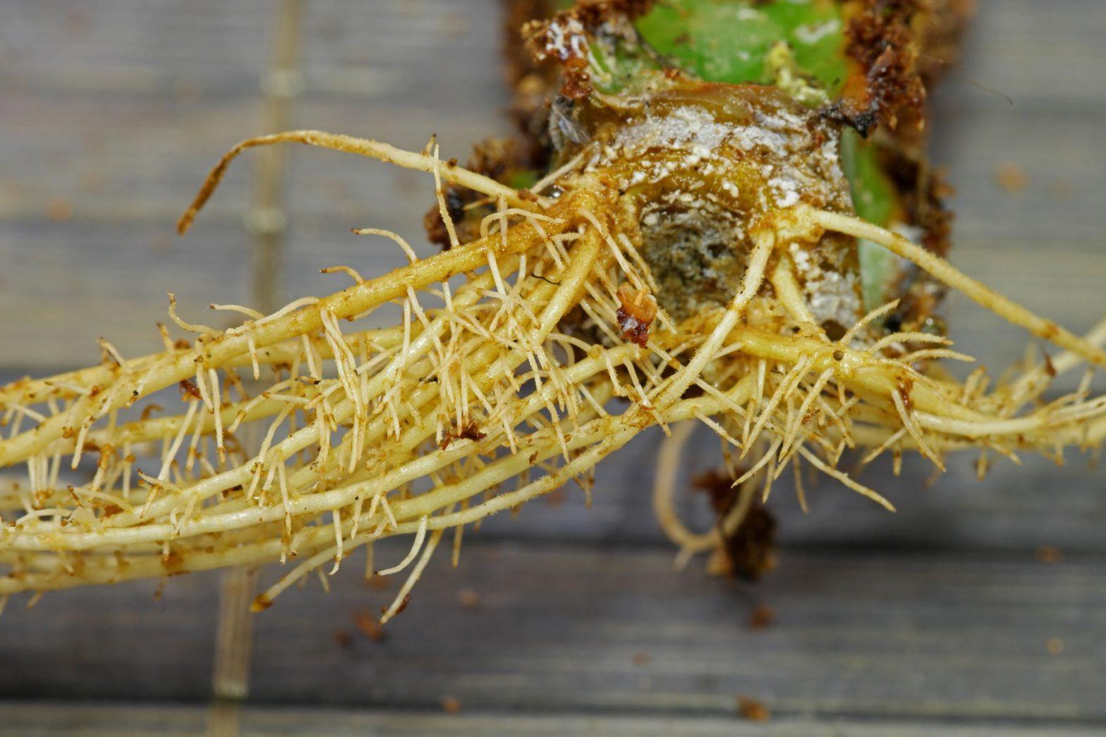Euphorbia leuconeura cutting